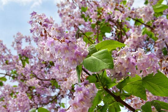 Baum Blüten des Blauglockenbaums, Paulowina Tomentosa, Hausbaum pflanzen, Freiformat Gärten und Landschaften